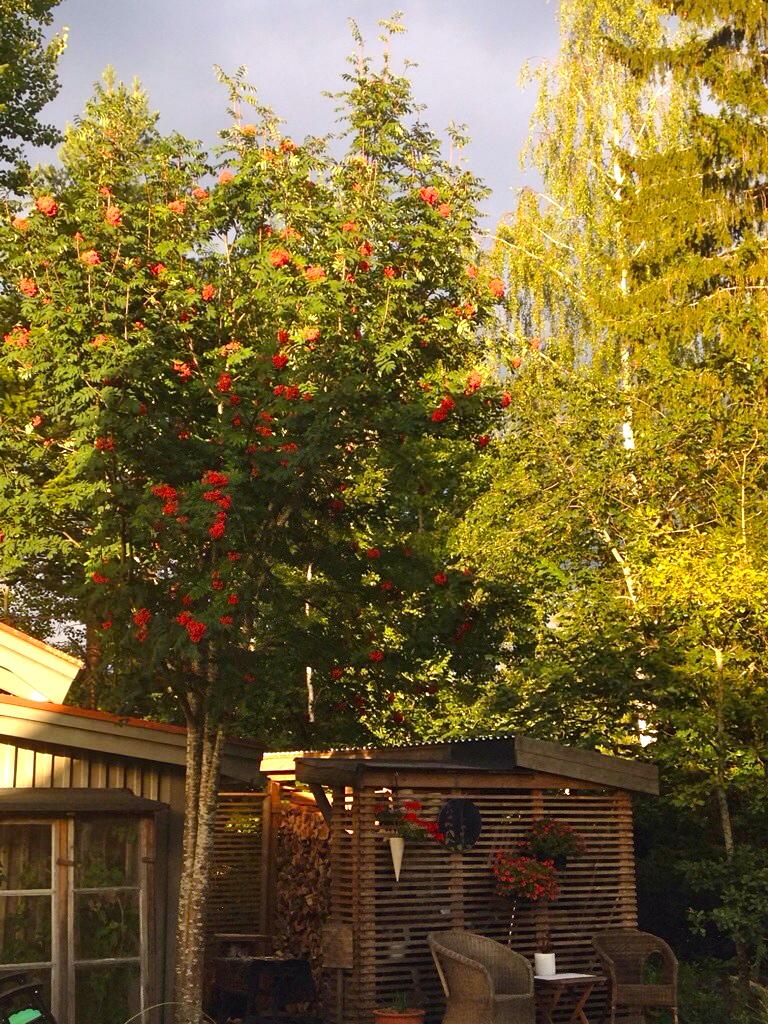 Rönnbärsträdet och den stålgrå himlen